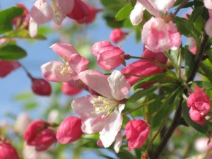 crab-apple-341477_640